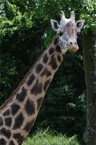 ASGN girafe niger